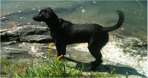 My dog, Benjie, poised to round up a bunch of sticks as soon as I throw them into the water.